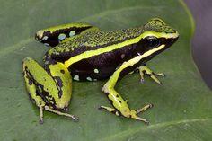 Ameerega bassleri 'green', IUCN Redlist Near Threatened, Loreto, Peru