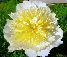 Honey Gold Peony - Double, Creamy Flowers, Yellow Center - 3/5 eye Bareroot - Hirt's Gardens #peoniesgarden