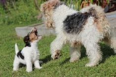 Wire Fox Terriers Rules ... :-)