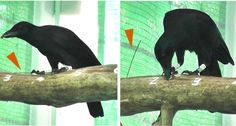 New Caledonian crows safeguard the sticks they use to find food by either tucking them under their toes (left) or keeping them in holes (right). ~~ B. Klump et al/Proc. B 2015