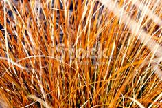 Close-Up of Tussock Grass Royalty Free Stock Photo Abstract Photos, Image Now, Simply Beautiful, Close Up, Grass, Royalty Free Stock Photos, Herbs, Orange, Photography
