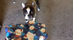 This Boston Terrier named Sunny opened his first Christmas present at 10 months old! Watch ► http://www.bterrier.com/?p=28054 - https://www.facebook.com/bterrierdogs