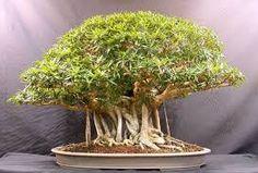 Resultado de imagem para bonsai de arvores frutiferas
