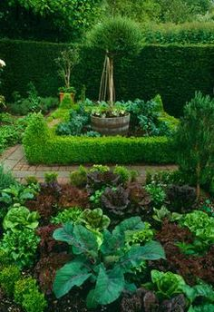 Vegetable garden low box Buxus hedge potager brick path Cabbage lettuce harvest crop edible wooden barrel container pot standard tree Old Rectory, Sudborough UK