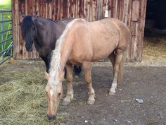 """Unsere Mustangs erwarten in den nächsten Tagen ihren Nachwuchs! """"Shatira"""" BLM-Mustangstute, Palomino, HMA """"Sailor Creek"""", Idaho (USA) und """"El Pueblo"""", BLM-Mustanghengst, Grullo, HMA """"Five Miles"""", Idaho, (USA). Wir sind gespannt! www.americanhorsepoint.com Quarter Horses, Palomino, Mustangs, American, Idaho, Usa, Animals, Western Saddles, Horse And Rider"""