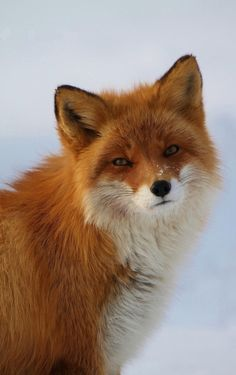 Red Fox (Vulpes vulpes) North America
