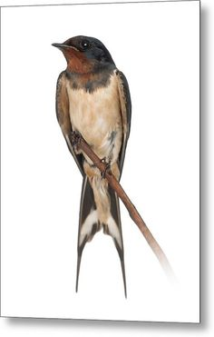 Barn Swallow Perched On A Branch - Hirundo Rustica Metal Print by Life On White Barn Swallow Tattoo, Swallow Bird Tattoos, Tattoo Bird, Nicolas Vanier, Vogel Illustration, Bird Drawings, Little Birds, Wildlife Art, Gravure
