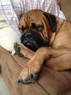 Beauty like his takes many hours of sleep. #bullmastiff