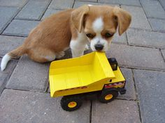 Puppy with tiny tonka