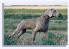 The Weimaraner was developed in 17th-century Germany for tracking large game,  was named after the sport-loving court of Charles August, Grand Duke of Weimar.  Its elegant carriage is universally admired,  it is increasingly becoming a family pet more than a working dog.  The Weimaraner is good with children, easy to groom, obedient,  suitable for urban living.  It handles heat well, but not cold.  Some individuals are prone to timidity.