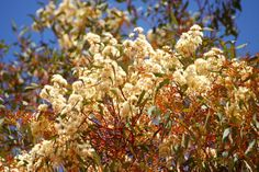 Flowering eucalyptus near Yunta Travel photo of the drive Arkaroola (Gammon Ranges)- Balcanoona - Frome Downs - Yunta, South Australia  Reisefoto von der Route Arkaroola (Gammon Ranges)- Balcanoona - Frome Downs - Yunta, Südaustralien (South Australia)