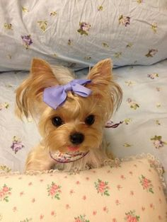 Yorkie ready for nite-nite! So adorable! Little Yorkie. Animals And Pets, Baby Animals, Funny Animals, Cute Animals, Teacup Yorkie, Yorkie Puppy, Baby Yorkie, Mini Yorkie, Teacup Puppies