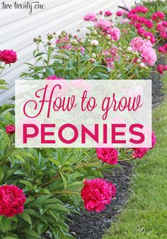 Growing Peonies - Peony Bush Care All you've ever wanted to know about growing peonies! Where to plant your peony bush, when to expect blooms, ants, and more peony topics! Front Yard Landscaping, Landscaping Ideas, Azaleas Landscaping, Shade Landscaping, Modern Landscaping, Peonies Wallpaper, Wallpaper Backgrounds, Peony Bush, Peony Flower