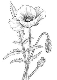 Coloring page poppy - coloring picture poppy. Free coloring sheets to print and download. Images for schools and education - teaching materials. Img 9777.