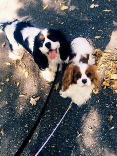 King Charles Puppy, Cavalier King Charles Dog, King Charles Spaniel, All About Puppies, Dogs And Puppies, Roi Charles, Animals Beautiful, Cute Animals, Cavalier King Spaniel