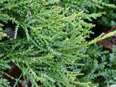 Low-growing Evergreen Shrubs