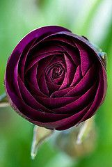 Rich burgundy red ranunculus, dark, mysterious .... the buttercup family