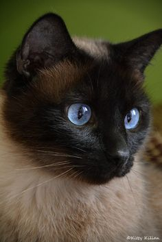 Daily Aww 21 Photos - Siamese Kittens - Ideas of Siamese Kittens - Daily Aww 21 Photos The post Daily Aww 21 Photos appeared first on Cat Gig. Siamese Kittens, Kittens Cutest, Cats And Kittens, Pretty Cats, Beautiful Cats, Pretty Kitty, Tonkinese Cat, Cat With Blue Eyes, Tier Fotos