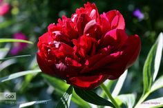 peony by annevesijarvi. Please Like http://fb.me/go4photos and Follow @go4fotos Thank You. :-)