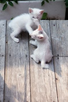 Cute kittens having fun with each other.