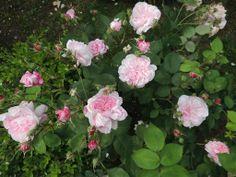 """""""Fantin Latour"""" at Ca' delle Rose  http://cadellerose.blogspot.it/2013/01/dimora-di-campagna-e-giardino-roseto.html"""