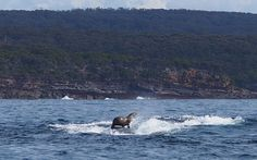 This seal is surfing on a humpback whale like it's NBD.