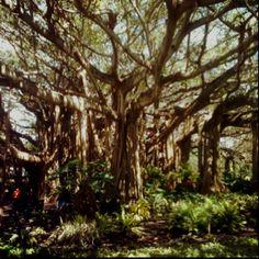Banyan tree - cypress gardens Florida
