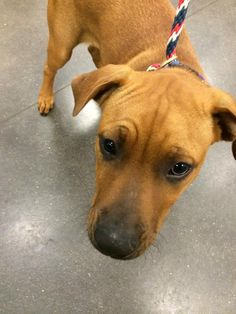 ADOPTED! This cutie pie is Benji! He is a 4-5 month old Boxer mix who is super lovable and loves to play with other dogs. Benji would love his opportunity for either a foster or forever home. Visit survivortails.org and fill out either foster or adoption application!