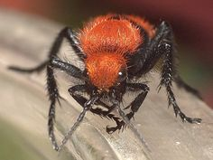 10 Most Diabolical Insects On Earth