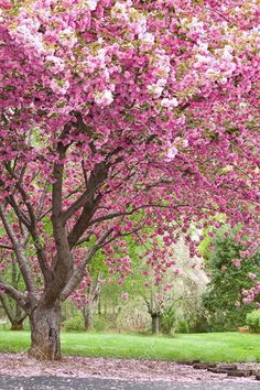 Cherry tree in the Spring. I LOVE cherry blossoms i would love to see the cherry blossom festeval again! Flowering Cherry Tree, Blossom Trees, Cherry Blossoms, Pink Blossom, Blossom Garden, Parcs, Growing Flowers, Yard Landscaping, Farmhouse Landscaping