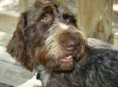 Bella the German Wirehaired Pointer-Lovely doggie smile!