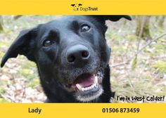 Lady at Dogs Trust West Calder is a 4 year old Lab cross collie. Lady is a very sweet and loving girl who loves an active life style. She loves her toys and will play for hours if a tennis ball is involved. Lady is house-trained and travels well in the car.