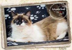 Tulipe is an adoptable Ragdoll Cat in Boucherville, QC. Voici Tulipe une magnifique Ragdoll. Elle a environ 3 ans et a été retrouvée errante. N'est-elle pas magnifique ? Imaginez la douceur de son poi...