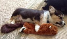Corgi puppy with his squirrel Cute Puppies, Cute Dogs, Dogs And Puppies, Baby Animals, Funny Animals, Cute Animals, Buzzfeed Animals, Cute Animal Pictures, Rescue Dogs