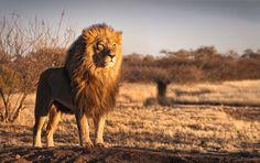 Namibian Lion King