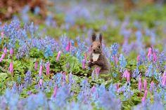 Hokkaido Squirrel(Sciurus vulgaris orientis )エゾリス