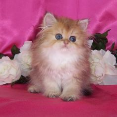 Teacup Himalayan Kittens | Silver 'N Gold Glamour Cats - Chinchilla Golden Teacup kitten