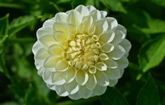 white dahlia flower Types Of White Flowers, White Dahlias, Types Of Colours, Dahlia Flower, Most Beautiful, Home And Garden, Rose, Plants, Gardens