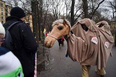 Najsympatyczniejsze pożegnanie starego roku w Krakowie - zdjęcie 24 Camel, Animals, Animales, Animaux, Camels, Animal, Animais, Bactrian Camel