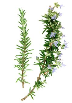 ✯ Rosemary is used to attract love in modern Witchcraft. It can be ground up and put in sachets that are placed under the bedroom pillow to attract dreams of a future lover. Rosemary sachets can also be placed in your undergarments drawer to attract a sexual partner. To bring love to your doorstep, tie three sprigs of rosemary together with red thread and place the sprigs under your doormat. To bring or keep love in the bedroom, place the bound sprigs between the mattress and boxspring. ✯