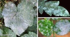 Μυκητολογική Ασθένεια Ωίδιο - Γιατί τα Φύλλα των Φυτών έχουν μια Άσπρη Σκόνη πάνω τους & Πώς να το Αντιμετωπίσω! Better Homes, Agriculture, Garden Landscaping, Plant Leaves, Boruto, Landscape, Nature, Plants, Gardening