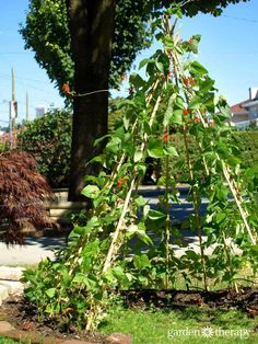 How To Make a Bean Tent in any yard big or small!