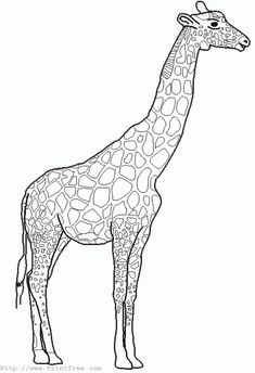 big coloring pages of animals giraffe outline image - Animal Outlines For Colouring