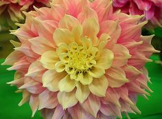 Dahlia - Pink & Yellow By Greg Harder  Greg Harder flickr