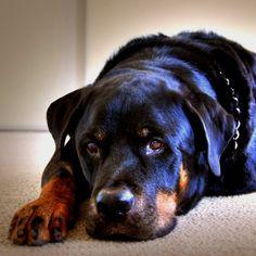 my next dog! Rotti