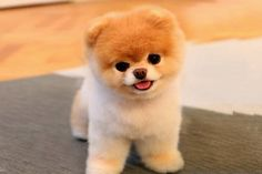 Adorable Dogs That Are Raising Money for Others 5 Cutest Teacup puppies you have ever seen// In need of a detox? off using our discount code at Cutest Teacup puppies you have ever seen// In need of a detox? off using our discount code Cute Teacup Puppies, Super Cute Puppies, Baby Animals Super Cute, Tiny Puppies, Cute Baby Dogs, Cute Little Puppies, Cute Dogs And Puppies, Cute Little Animals, Cute Funny Animals