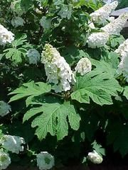 Hydrangea quercifolia- Oakleaf hydrangea