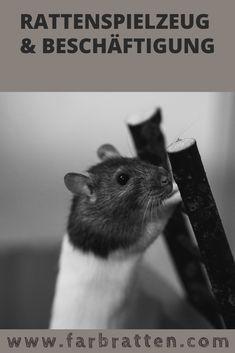 Intelligenzspielzeug & Futterspielzeug ✔ Spielflächen für den Auslauf ✔ Clickertraining ✔ DIY - Spielzeug selber basteln ✔ Rattenspielzeug & Beschäftigung Rat Toys, Hamster, Pet Rats, Post, Babys, Animals, Blog, Swimming, Cute Rats