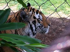 Mike! LSU's mascot. Up close and personal~ So cool!!!