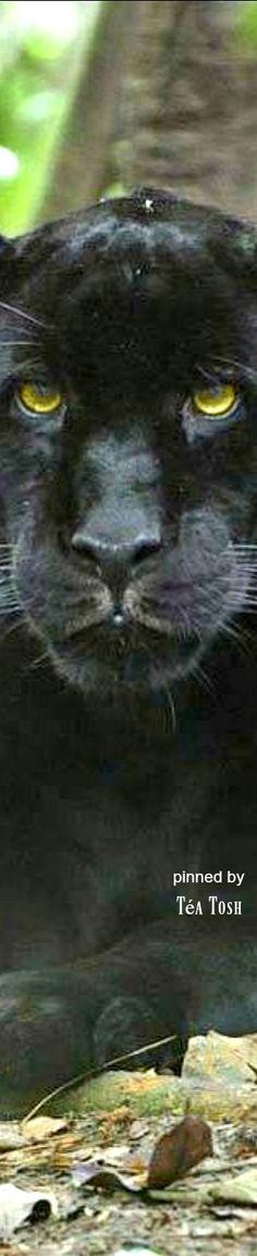 . Exotic Animals, Exotic Pets, Dangerous Animals, Black Panther, Chilling, Big Cats, Amazing Nature, Animal Kingdom, Cheetah